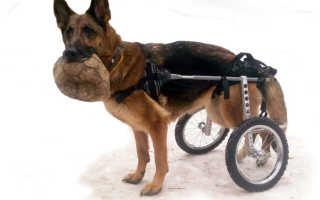 Как ухаживать за собакой и котом спинальником